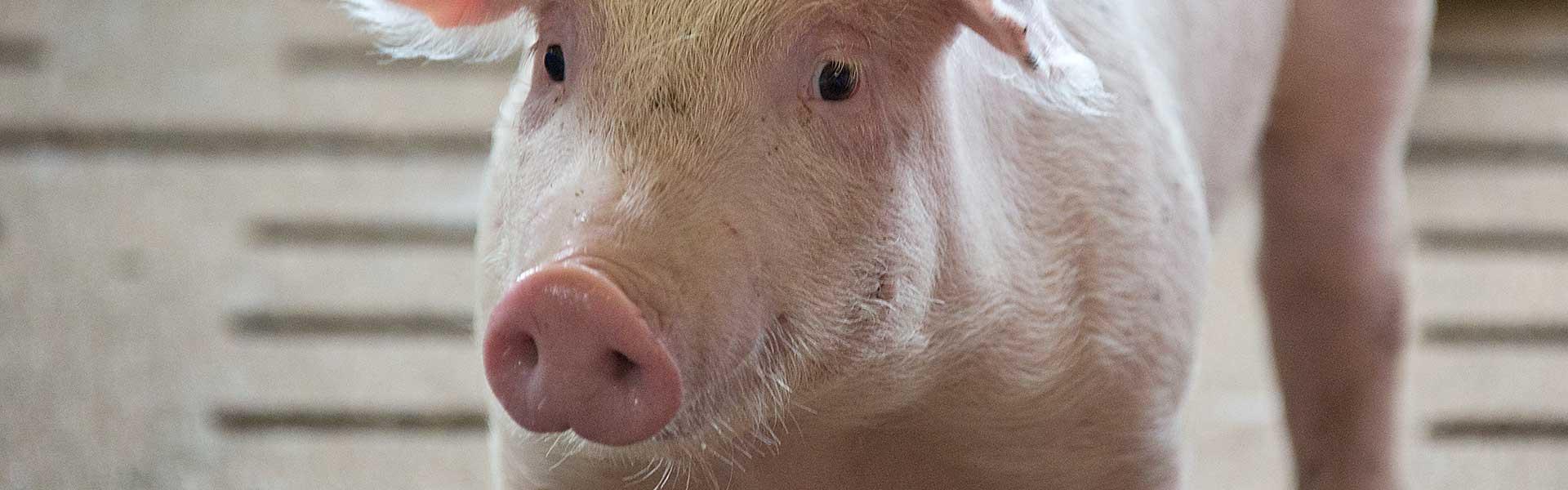 Landwirtschaft und Schweinezucht - Hagemann Dienste GmbH